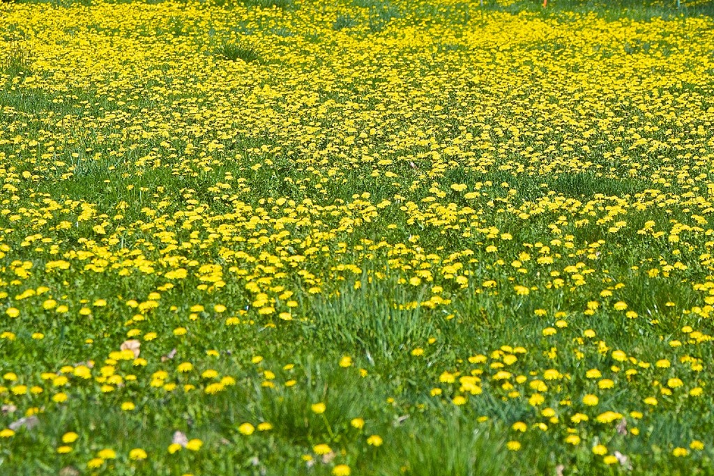 Dandelions at the Puntledtge Reserve, Courtenay April 11 2016 - charles brandt photo