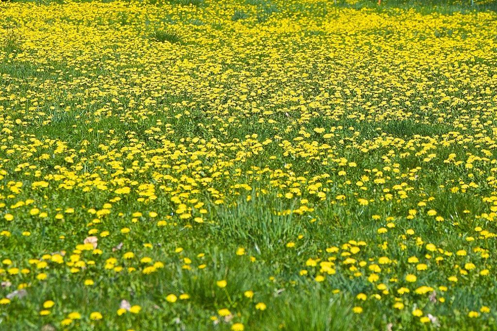Dandelions at the Puntledtge Reserve, Courtenay April 11 2016 - charles brandt photo