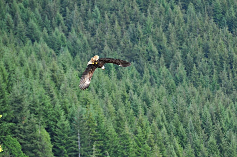 Eagle at the lake May 26, 2016 - bruce witzel photo
