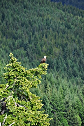 Eagle pecrched, taken from the deck May 26, 2016 - bruce witzel photo