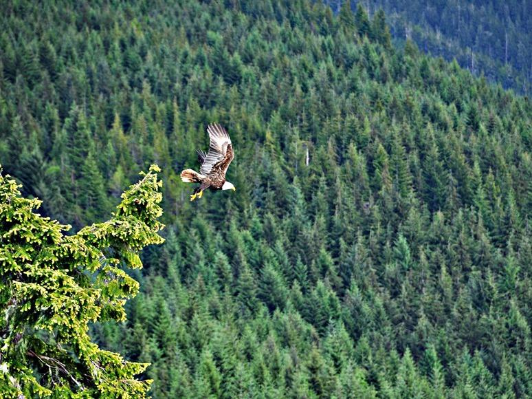 Eagle taking flight - bruce witzel photo