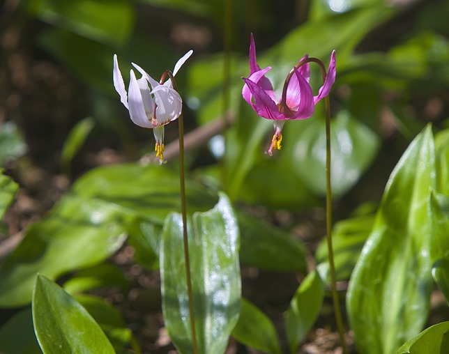 Fawn Lily (pink and white) Black Creek Nature Park, aprii 8, '15, charles brandt photo original