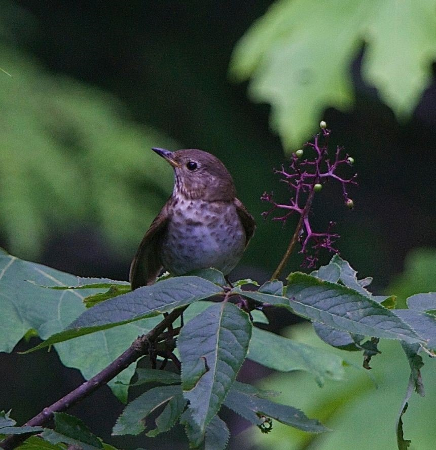 Swainsons Thrush - Charles Brandt photo (2)