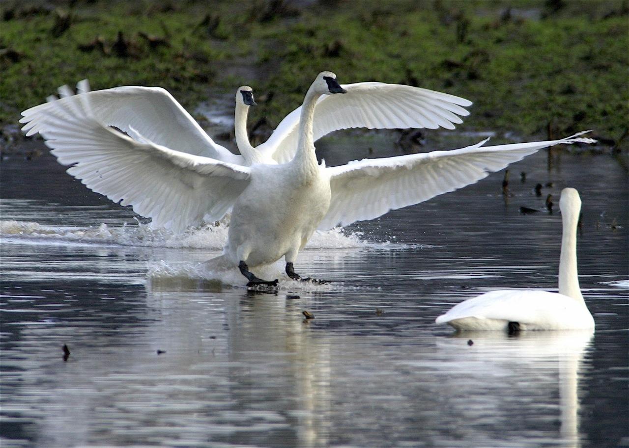 Trumpeter Swans - charles brandt photo