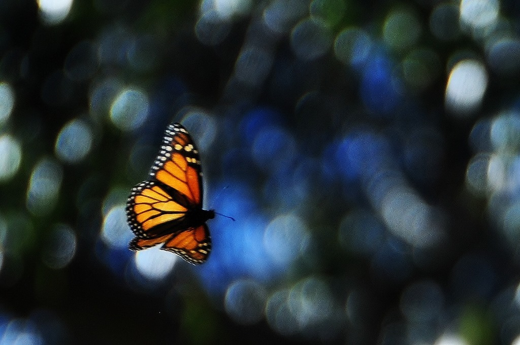 Monarch butterfly @ Pismo Beach California Nov. 2012 - bruce witzel photo