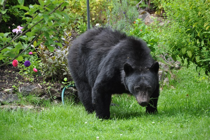 Billy-bob, the bear in our garden July 2016 - bruce witzel photo
