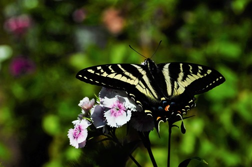 Butterfly with Sweet William - bruce witzel photo
