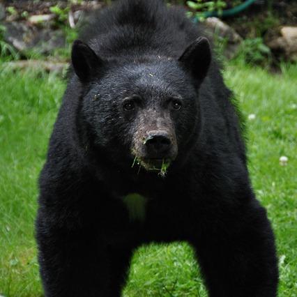 Closeup of bear in garden, July 2016 - buce witzel photo