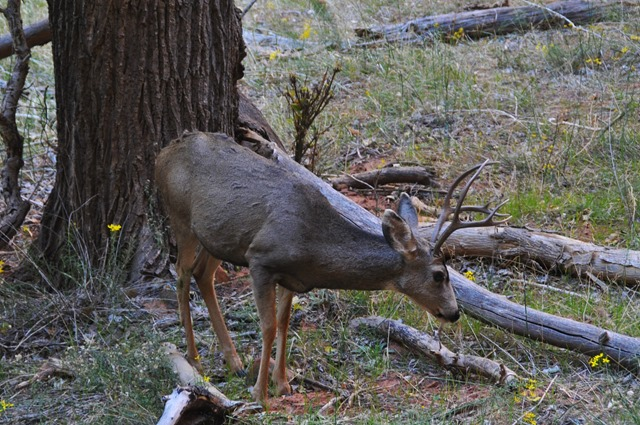 Deer in Zion National Park - bruce witzel photo