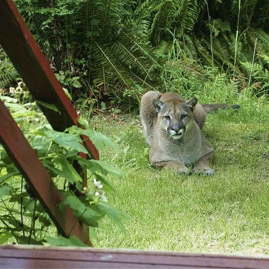 Actual photo of cougar near hermitage (as appears on cover of Chasing Down the Night) - charles brandt photo