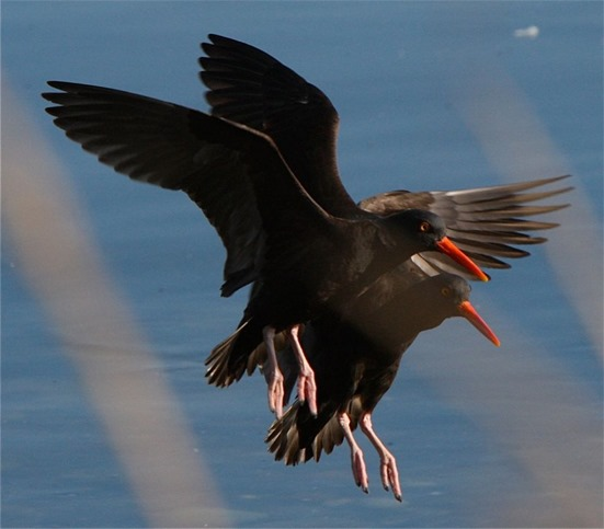 Black Oyster Catchers -charles brandt photo