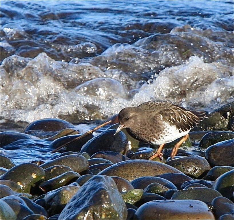 Black Turnstone - Non Breeding Plumage - charles brandt photo