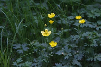 buttercup - charles brandt photo
