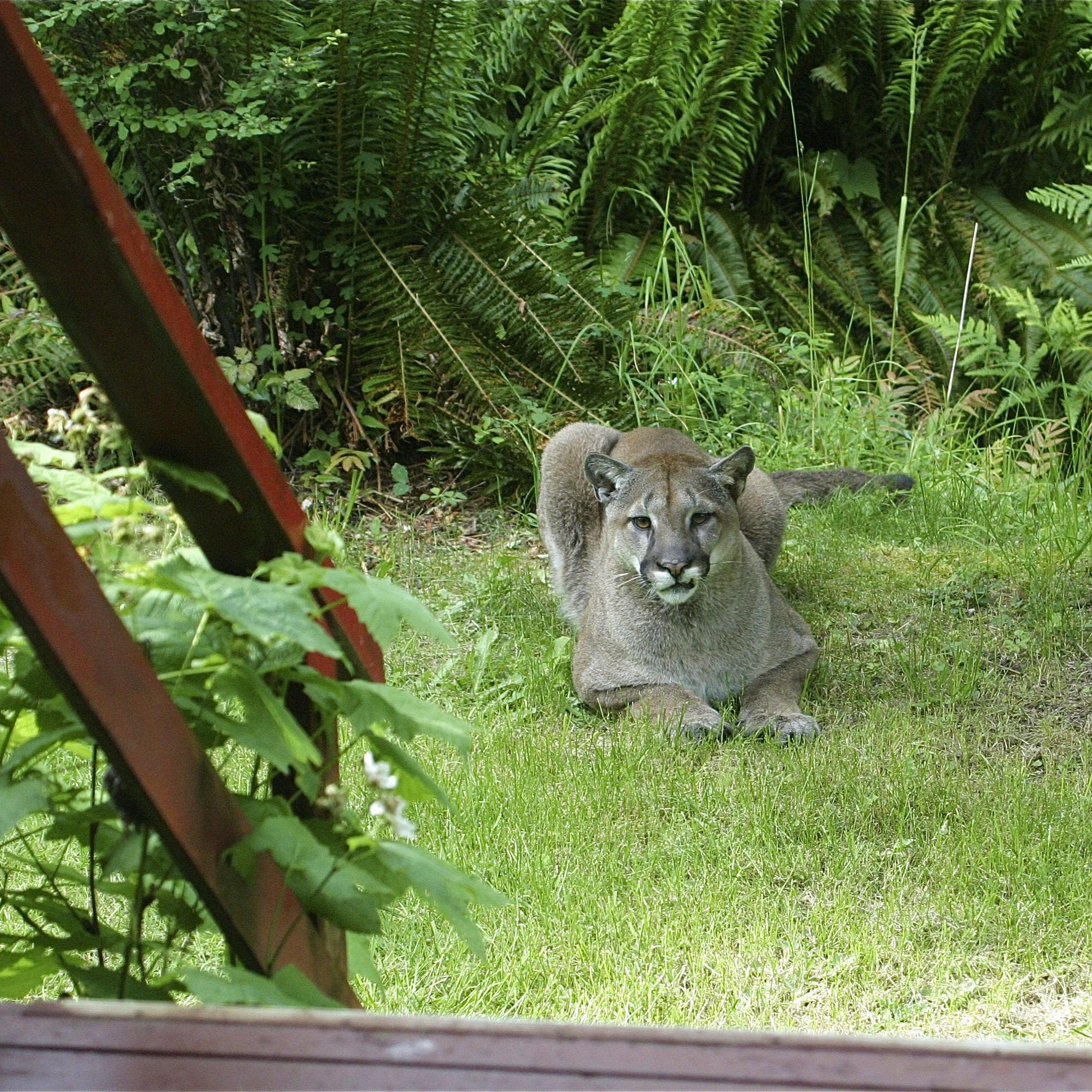 Cougar near porch of hermitage - charles brandt photo
