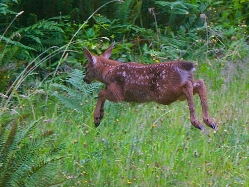 Flying fawn - charles brandt photo (3)