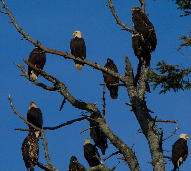 Many Eagles - charles brandt photo