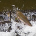 Pink-Salmon-in-the-Tsolum-River-charles-brandt-photo-2.jpg