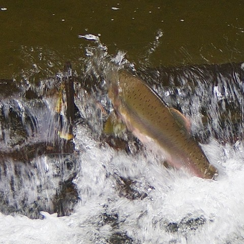 Pink Salmon in the Tsolum River - charles brandt photo (2)