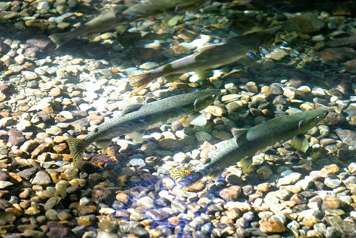 Pink Salmon spawning grounds Sept 24 Oyster River - charles brandt