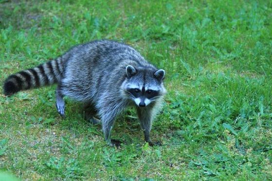 Racoon (2) - charles brandt photo