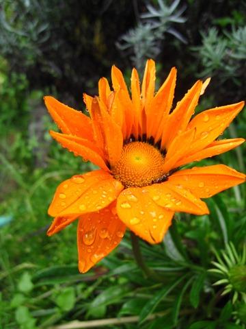 Raindrops on flower - bruce witzel photo