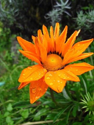 Raindrops on flower - bruce witzel photo