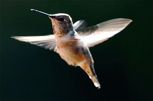 RufousHummingbird[ - by Cahrles A.E. Brandt