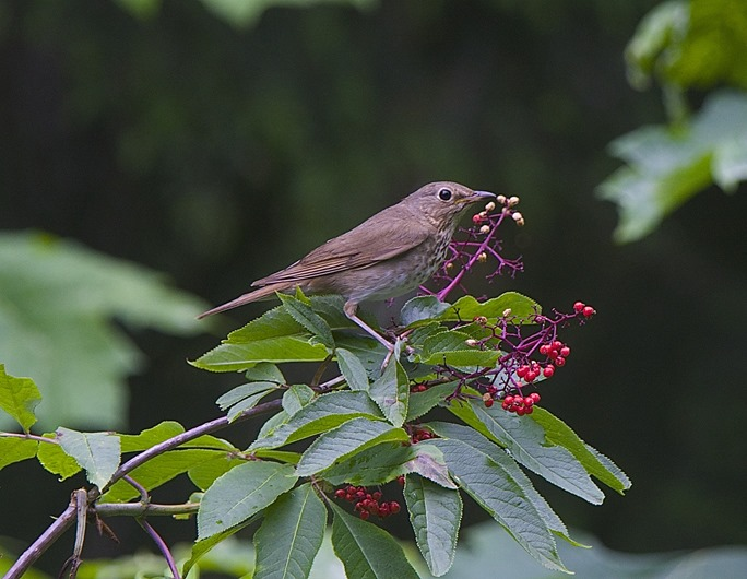 Swainson's Thrush, Red Elderberry, Hermitage, June l8, '15. charles brandt photo