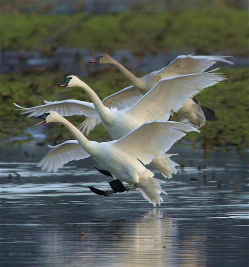 Three Swans - by Charles A.E. Brandt