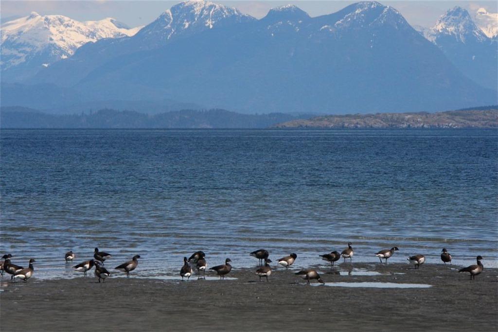 Black Brants near Georgia Strait - charles brandt photo] (2)