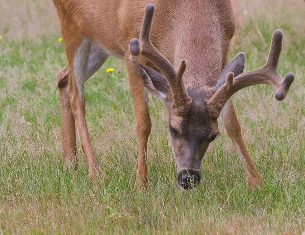 Four-pointer (med. large) Comox June 25 2015 - charles brandt photo