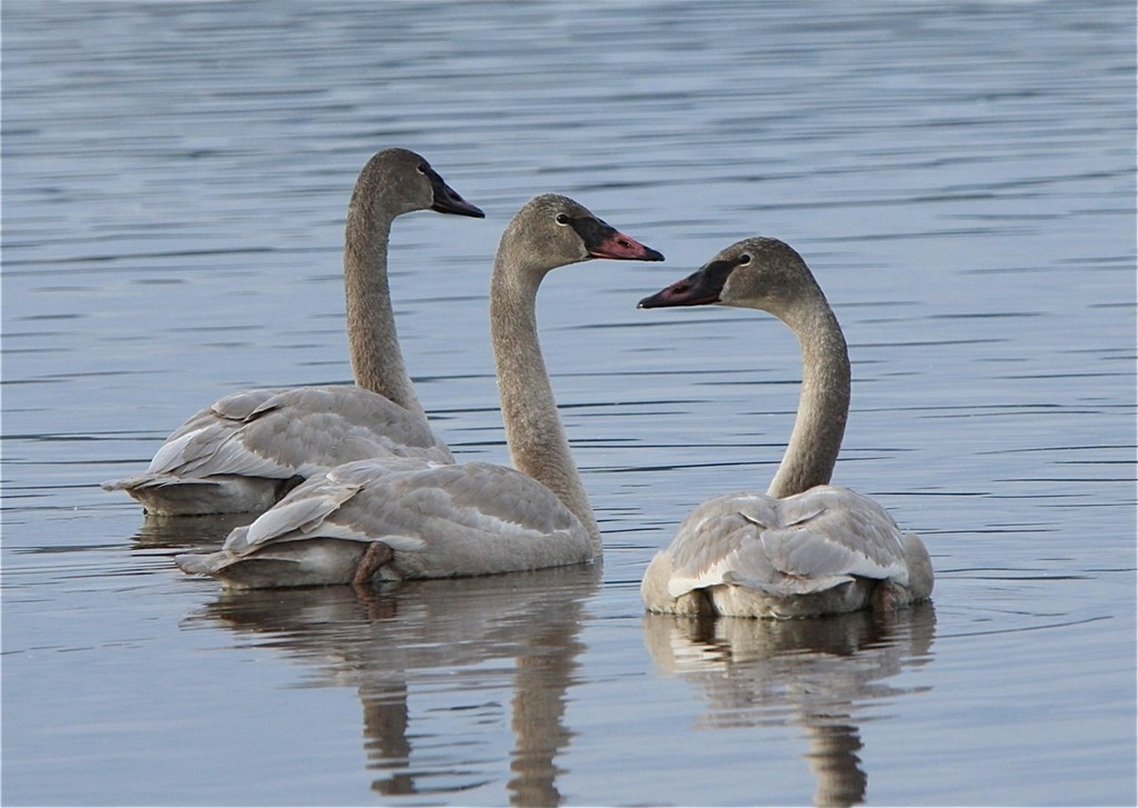 Immature Trumpeter Swans - charles brandt photo