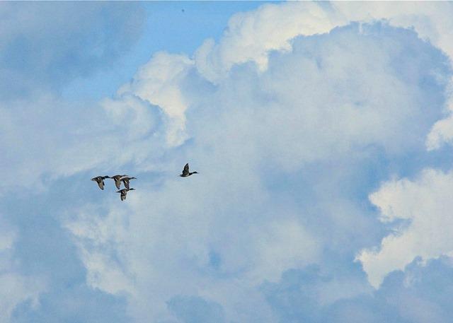 Mallards in flight! - Charles Brandt photo