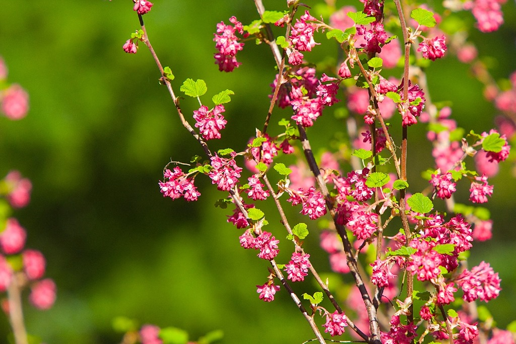 Red Flowering Currant (large)at the Hermitage April 1 2016 - charles brandt photo