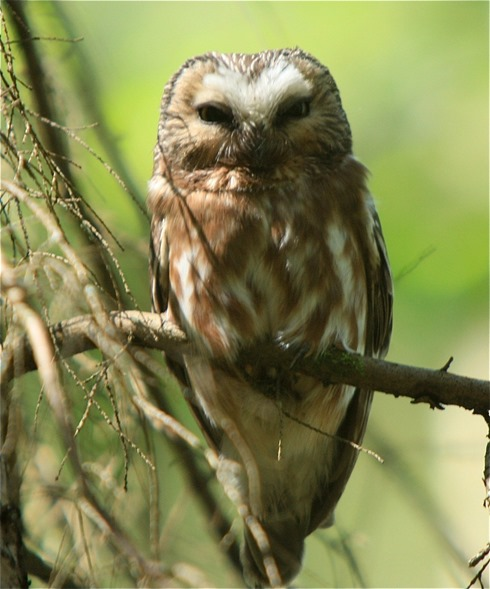 Saw Whet Owl - by Charles A.E. Brandt