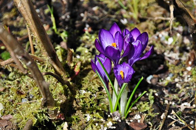 Crocus on the first day of Spring(edited), March 21, 2017 (2) - bruce witzel photo