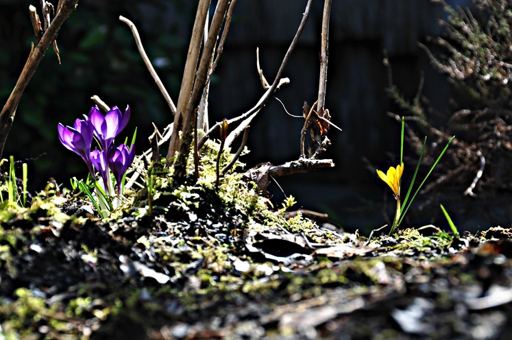 Crocuses (backlit4) March 20, 0217 - bruce witzel photo