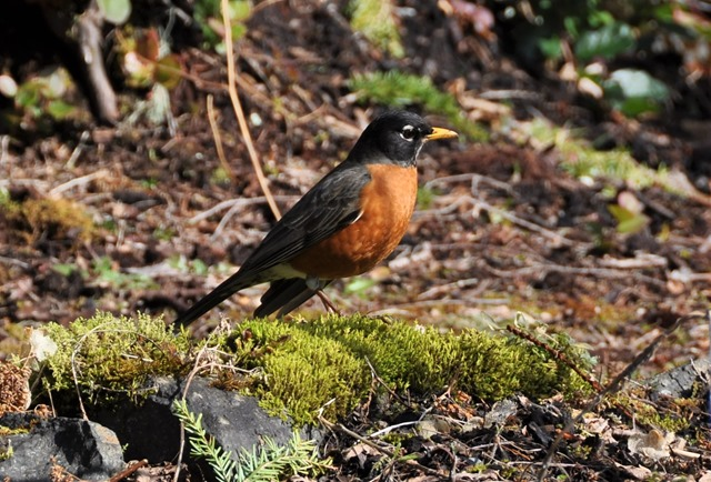 Robin on the first day of Spring (2), March 20-2017 - bruce witzel photo
