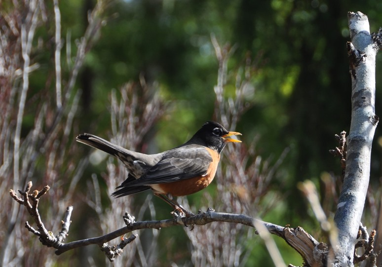 Robin singing on a tree branch, March 20-2017 - bruce witzel photo
