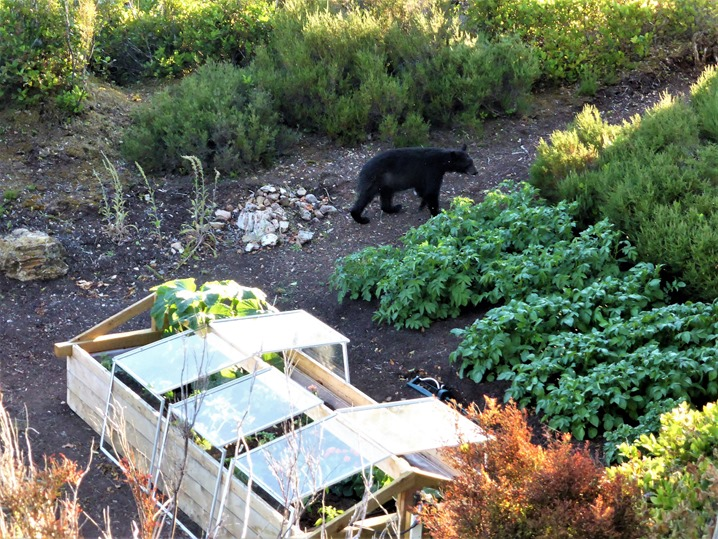 Bear passing by coldframe, July 9, 2015 - bruce wtizel photo
