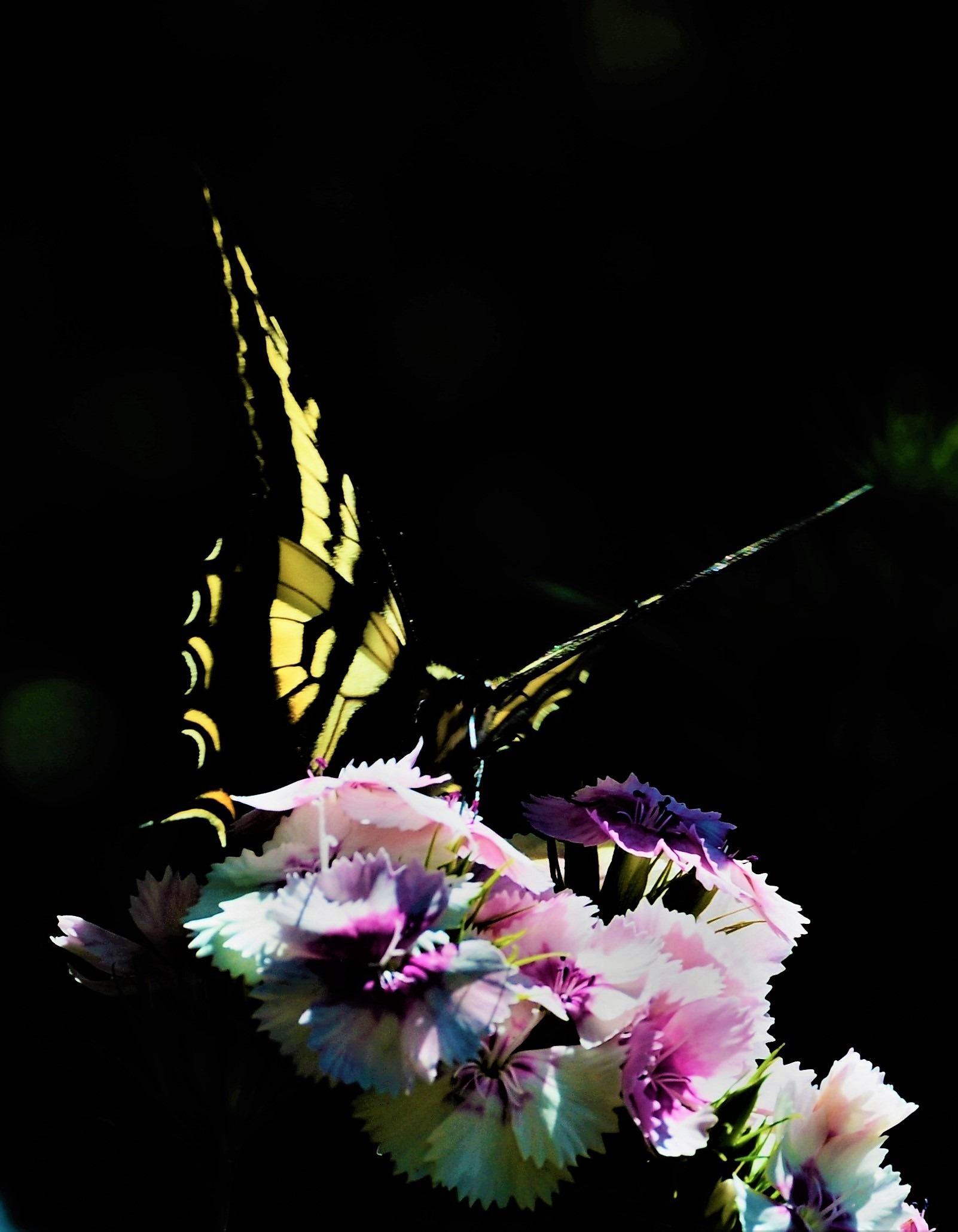 Butterfly taking flight from sweet william - bruce witzel photo