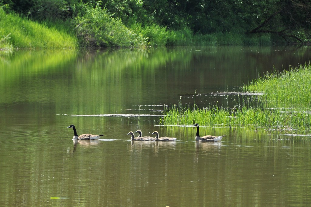 Ducks on the Fraser River  - bruce witzel photo