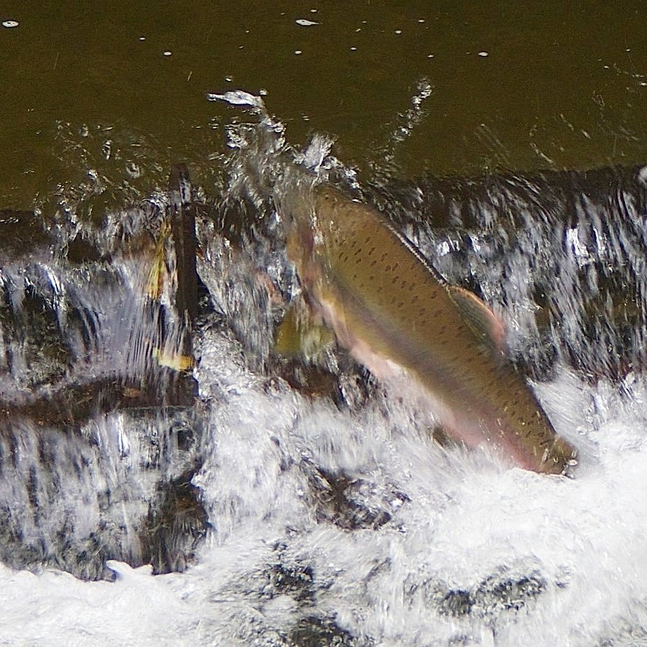 Pink Salmon in the Tsolum River - charles brandt photo (3)
