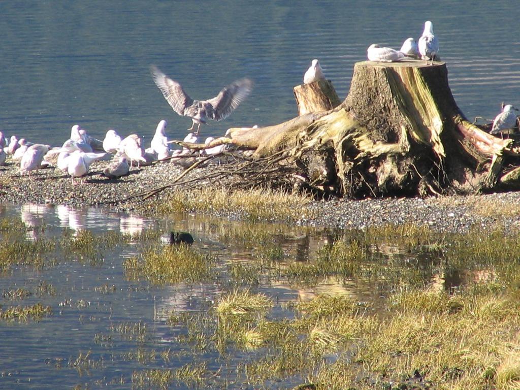 Gulls at Neurotsis Inlet
