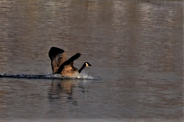 Canada Goose landing on Thompson River in Kamloops BC - Nov.5-2017 - bruce witzel photo
