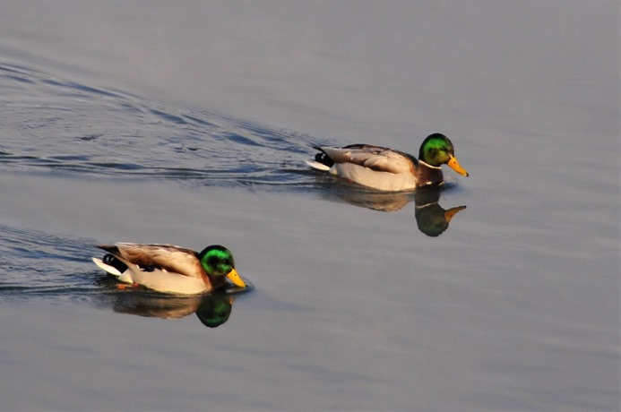 Two Mallard Ducks on the Thompson River in Kamloops B.C.  Nov.6-2017 - bruce witzel photo