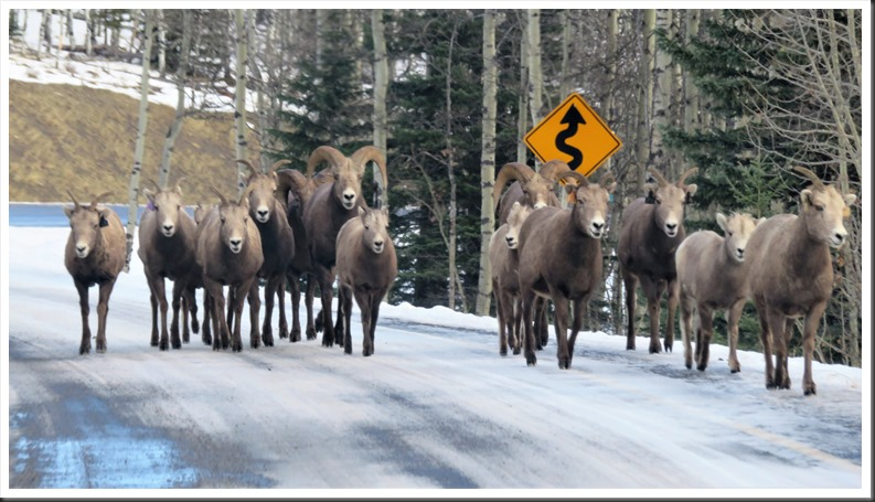 Mountain sheep on the road -bruce witzel photo