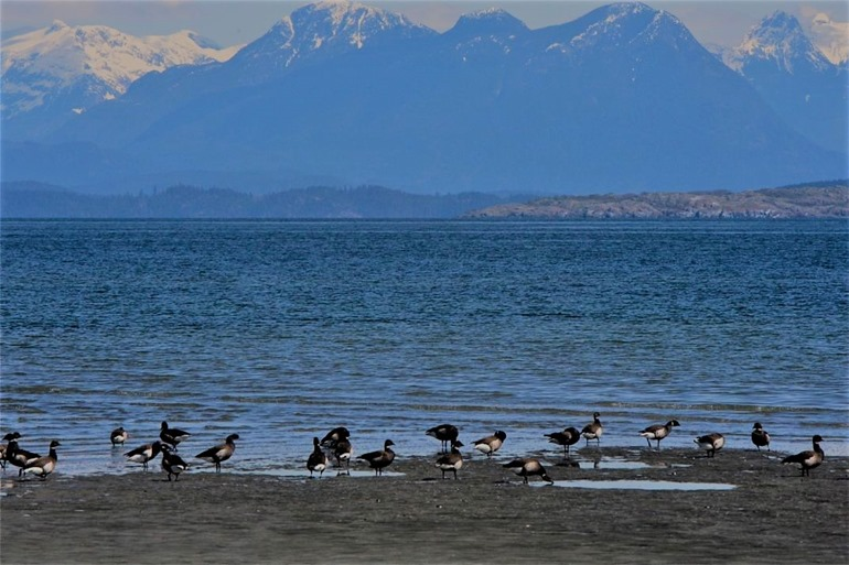 Black Brants on the shores of the Georgia Strait - charles brandt photo