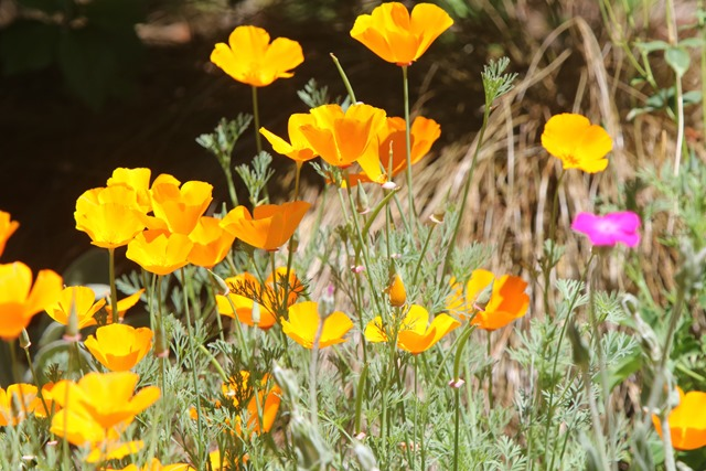 Poppies, June 20, 0217 - charles brandtt photo