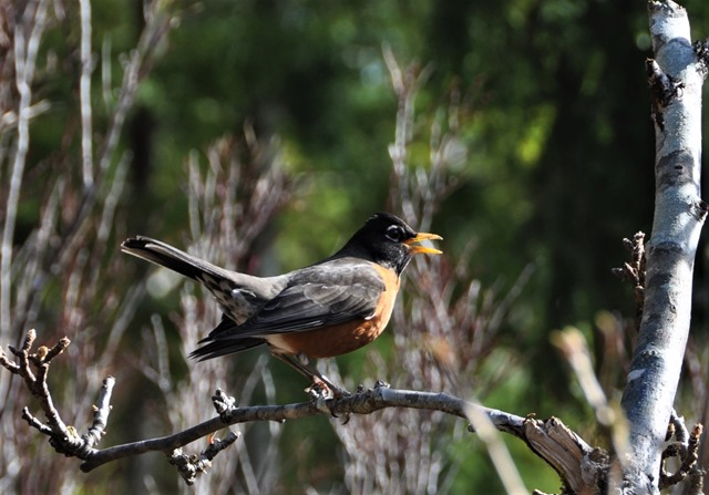 Robin singing on a tree branch, first day of spring March 20-2017 - bruce witzel photo